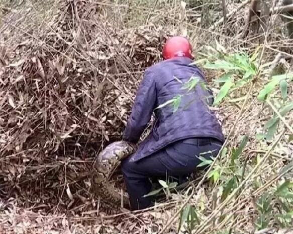 Người dân hoảng sợ phát hiện trăn khổng lồ 100 tuổi bị đồn thành tinh - Ảnh 1