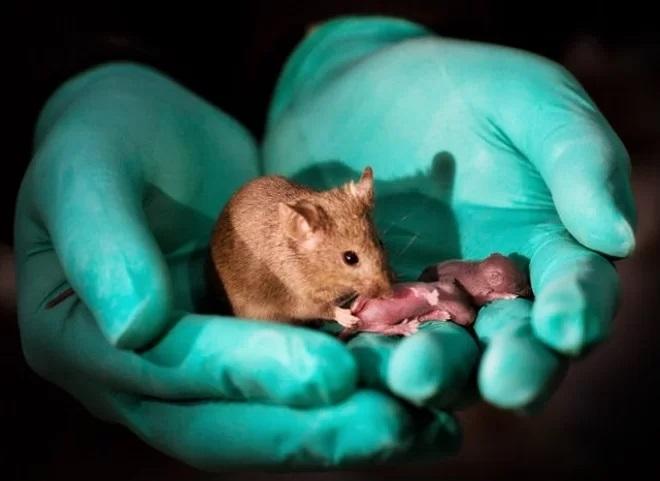 Phôi thai không cần tinh trùng và trứng đã thí nghiệm thành công trên chuột - Ảnh 2