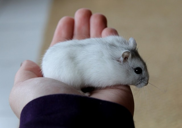 Những người thích nuôi chuột làm thú cưng cần cảnh giác điều này - Ảnh 2