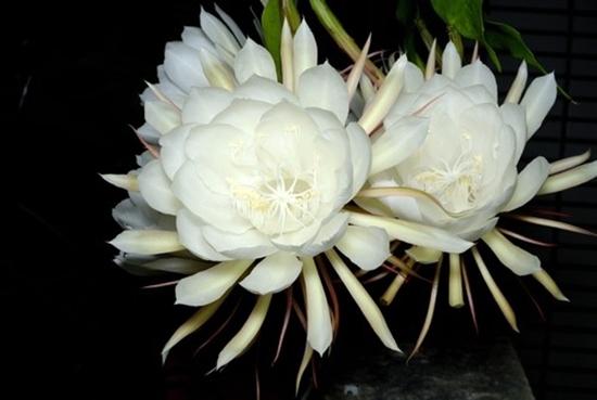 Vén màn bí ẩn: Tại sao hoa quỳnh chỉ nở về đêm? - Ảnh 1