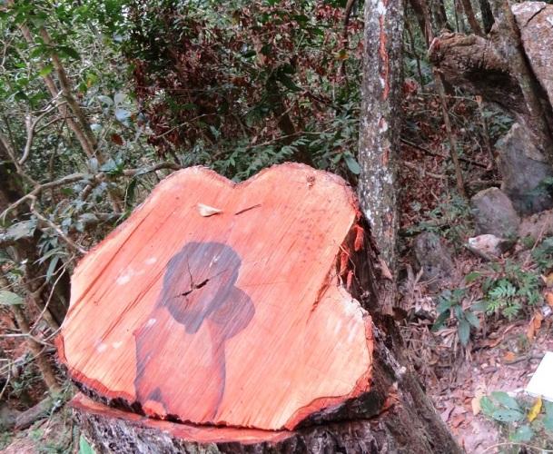 Vụ phá rừng tại VQG Phong Nha - Kẻ Bàng: Tạm giam trạm trưởng trạm kiểm lâm 4 tháng - Ảnh 2