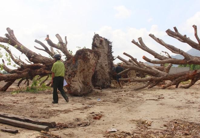 """Cây cổ thụ rừng bị đào về làm cảnh trong nhà """"đại gia"""" - Ảnh 1"""