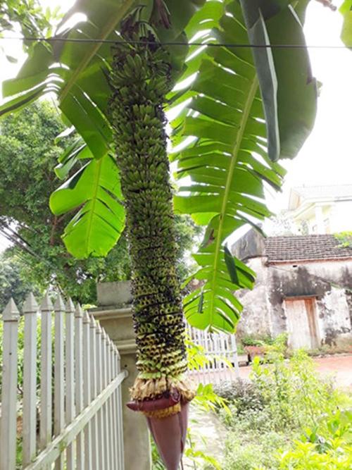 """Chiêm ngưỡng những buồng chuối khủng """"siêu"""" trái của nhà nông Việt - Ảnh 2"""