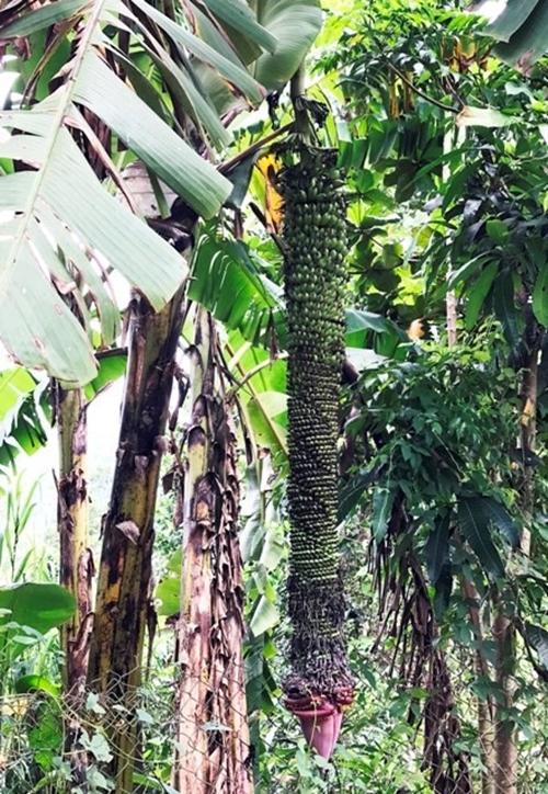 """Chiêm ngưỡng những buồng chuối khủng """"siêu"""" trái của nhà nông Việt - Ảnh 5"""