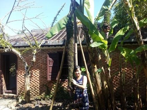 """Chiêm ngưỡng những buồng chuối khủng """"siêu"""" trái của nhà nông Việt - Ảnh 6"""