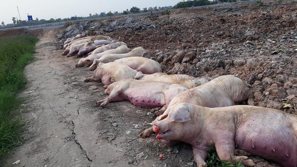 Mất hàng triệu con lợn vì dịch tả châu Phi, thiệt hại quá lớn, ngân sách cạn tiền - Ảnh 1