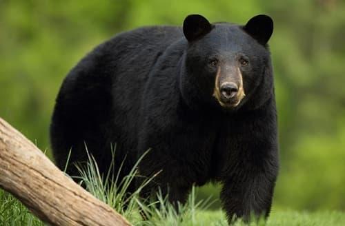 Đang nằm ngủ, bé trai 13 tuổi bất ngờ bị gấu đen tấn công - Ảnh 1