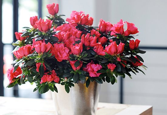 Điểm danh những loại hoa, cây cảnh chứa chất cực độc cần cẩn thận ngày Tết - Ảnh 5