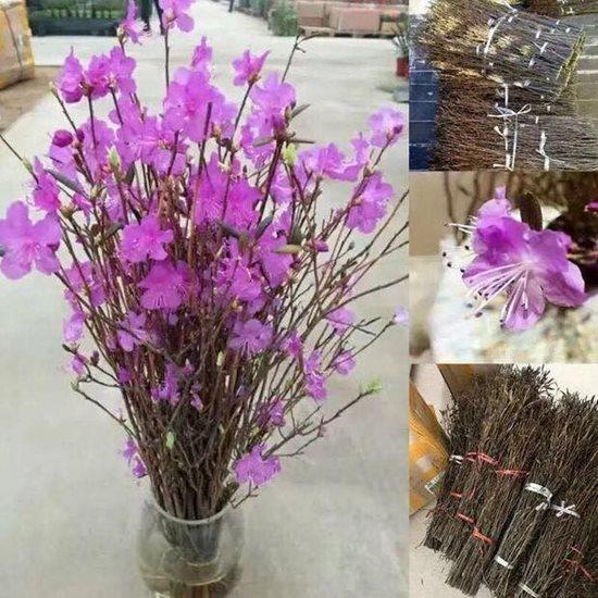 Điểm danh những loại hoa, cây cảnh chứa chất cực độc cần cẩn thận ngày Tết - Ảnh 6