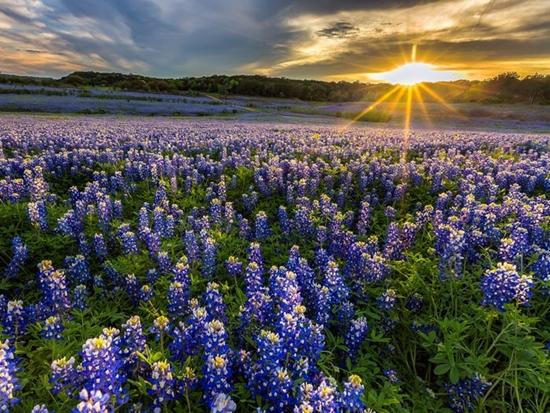Những cánh đồng hoa đẹp nhất thế giới bắt đầu nở rộ - Ảnh 2
