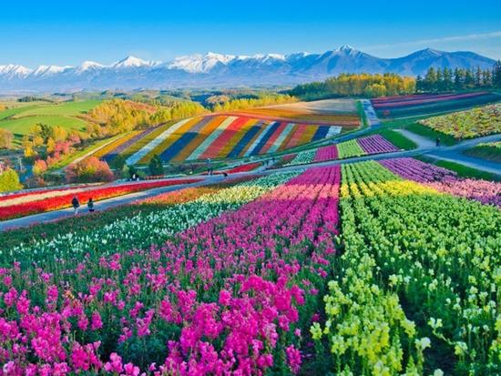 Những cánh đồng hoa đẹp nhất thế giới bắt đầu nở rộ - Ảnh 12