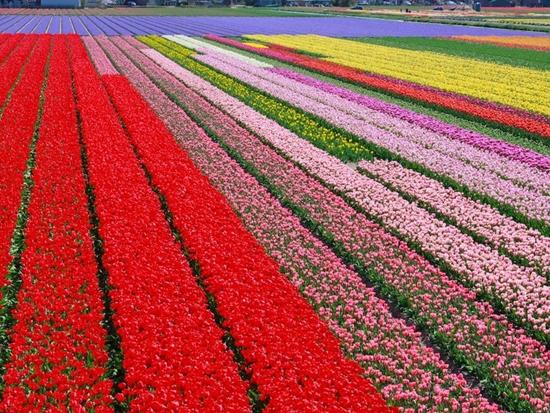 Những cánh đồng hoa đẹp nhất thế giới bắt đầu nở rộ - Ảnh 4