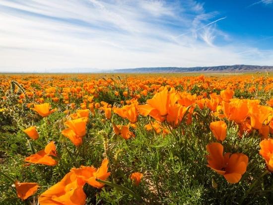 Những cánh đồng hoa đẹp nhất thế giới bắt đầu nở rộ - Ảnh 7