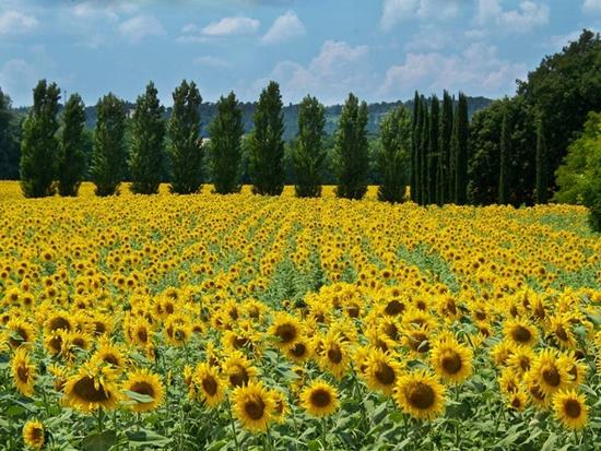 Những cánh đồng hoa đẹp nhất thế giới bắt đầu nở rộ - Ảnh 10