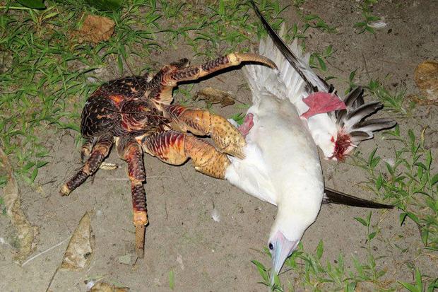 Vũ khí bí mật giúp loài cua khổng lồ làm chúa tể cả một hòn đảo ở Ấn Độ Dương - Ảnh 2