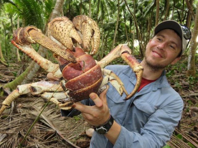 Vũ khí bí mật giúp loài cua khổng lồ làm chúa tể cả một hòn đảo ở Ấn Độ Dương - Ảnh 3