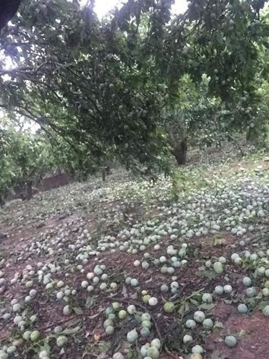 Nhà vườn Sơn La khóc ròng vì xoài mận rụng trắng vườn - Ảnh 6