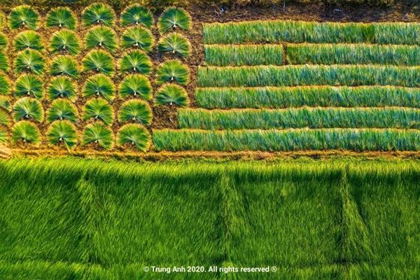 Vẻ đẹp siêu thực của cánh đồng cói Việt Nam - Ảnh 7