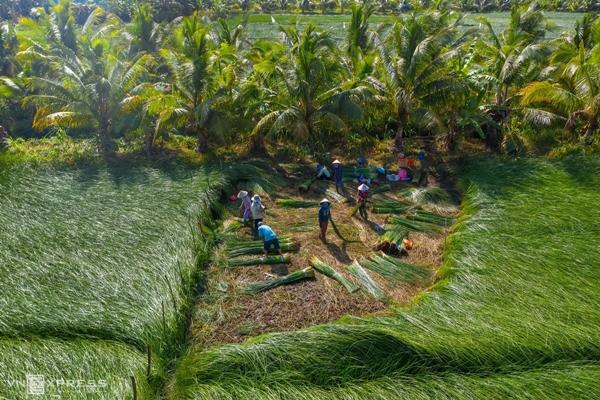 Vẻ đẹp siêu thực của cánh đồng cói Việt Nam - Ảnh 9