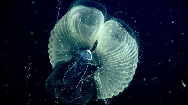 """Vẻ đẹp kì ảo của sinh vật được mệnh danh """"anh nuôi"""" đại dương nơi đáy biển sâu - Ảnh 3"""