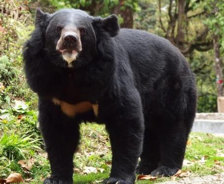 """Nhật Bản: Cụ bà 82 tuổi dùng tay không """"đại chiến"""", đánh gấu đen bỏ chạy vào rừng - Ảnh 1"""