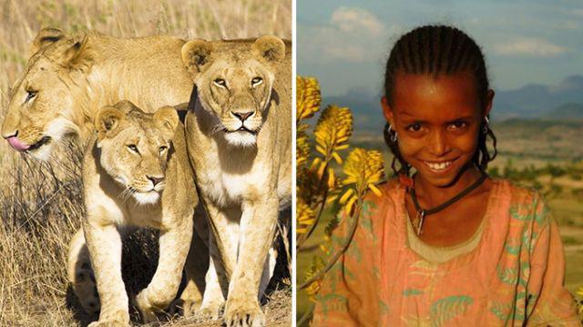 Thực hư việc sư tử cứu bé gái bị bắt cóc ở Ethiopia - Ảnh 1