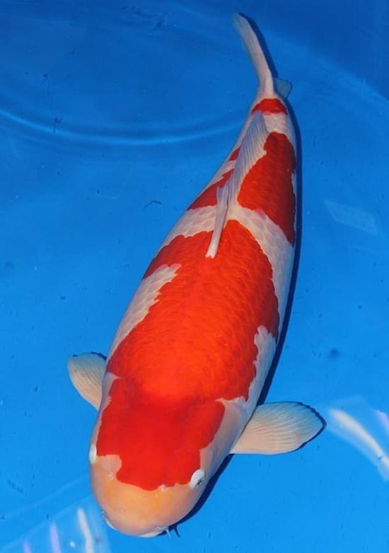 Video: Chiêm ngưỡng cá Koi đắt nhất thế giới dài hơn 1 mét - Ảnh 1