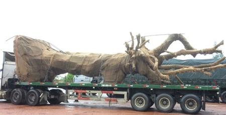 """Quảng Trị: Xe đầu kéo chở cây """"quái thú"""" bị tạm giữ - Ảnh 1"""