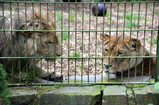 Chàng trai nhảy qua hàng rào để vào chuồng nằm cùng sư tử dù được can ngăn - Ảnh 1