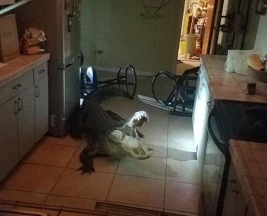 Cá sấu dài hơn 3m phá cửa sổ lẻn vào nhà trong đêm khiến người dân khiếp vía - Ảnh 1