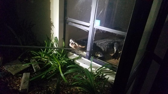 Cá sấu dài hơn 3m phá cửa sổ lẻn vào nhà trong đêm khiến người dân khiếp vía - Ảnh 2