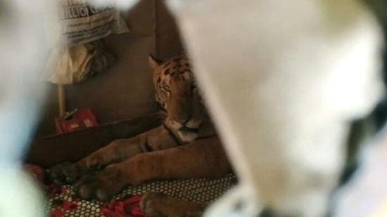 Vườn quốc gia bị ngập, hổ vào nhà dân leo lên giường nằm ngủ - Ảnh 2