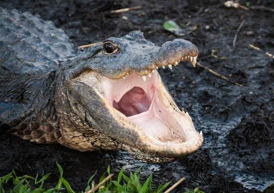 """Mỹ: Tội phạm xả ma túy xuống toilet khiến cá sấu """"phê thuốc"""" - Ảnh 1"""