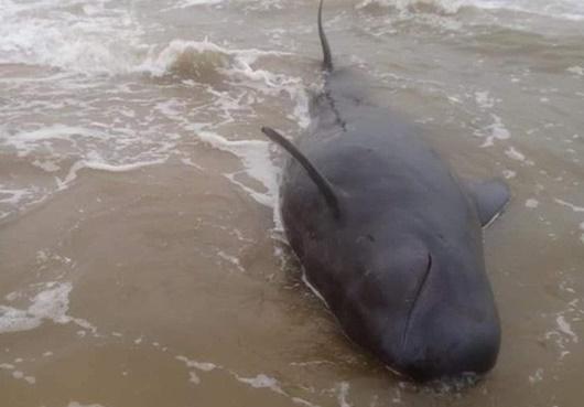 """Quảng Ngãi: Ngư dân tập trung giải cứu """"cá Ông Chuông"""" dài 4 m, nặng nửa tấn - Ảnh 1"""