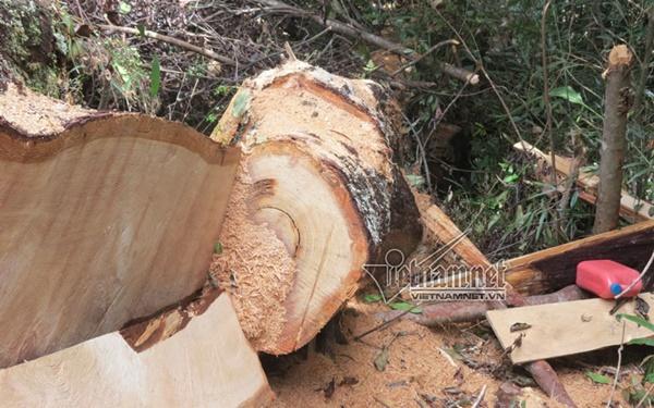 Khởi tố thêm 2 cán bộ kiểm lâm trong vụ phá rừng pơ mu ở Nghệ An - Ảnh 1