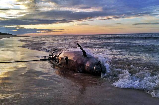 Phát hiện xác cá heo nặng 350 kg trôi dạt vào bờ biển - Ảnh 1