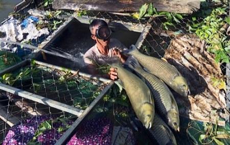 Cá nuôi lồng bè trên sông Bồ chết hàng loạt, thiệt hại hàng trăm triệu đồng - Ảnh 1