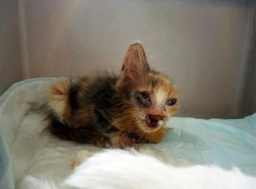 """Ngạc nhiên xem quá trình """"lột xác"""" của chú mèo 'xấu xí' nhờ phẫu thuật thẩm mỹ - Ảnh 3"""