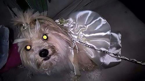 Bị hôn phu hủy hôn, cô gái quyết định kết hôn với chó - Ảnh 2