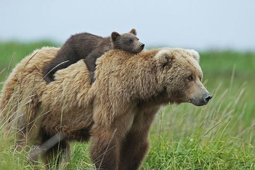 Học hỏi được gì từ cách dạy con của loài gấu - Ảnh 1