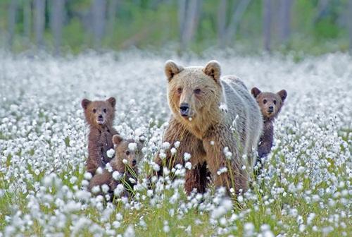 Học hỏi được gì từ cách dạy con của loài gấu - Ảnh 3