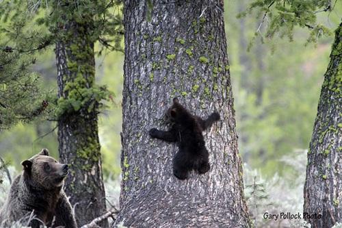 Học hỏi được gì từ cách dạy con của loài gấu - Ảnh 6