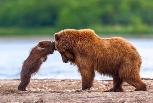Học hỏi được gì từ cách dạy con của loài gấu - Ảnh 9