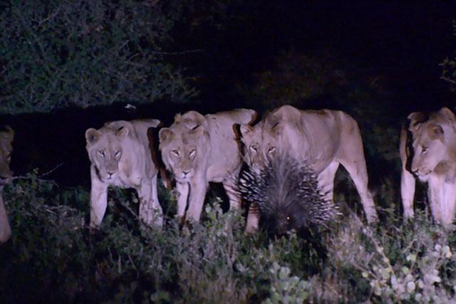 Không muốn biến thành mồi ngon, chú nhím xù lông dọa 7 con sư tử sợ chết khiếp - Ảnh 1