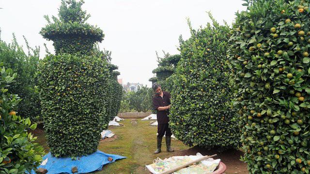 Cây quất lạ giá 80 triệu mỗi cặp gây sốt thị trường hoa kiểng - Ảnh 3