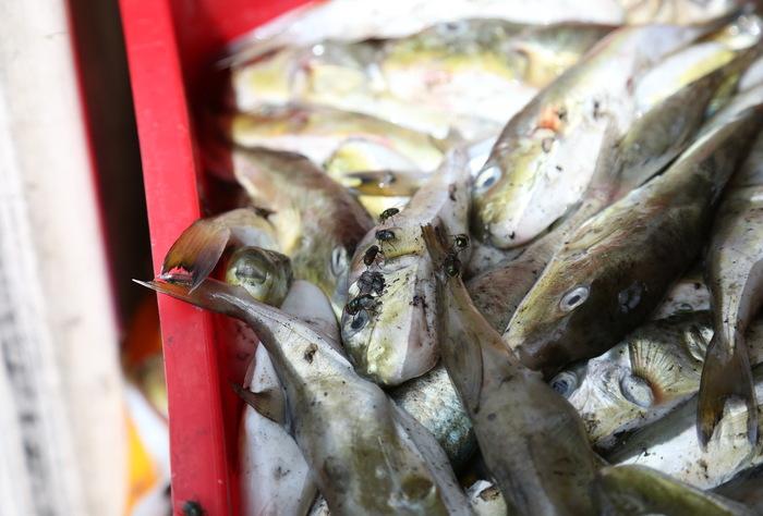 Phát hiện 13 tấn cá nóc không rõ nguồn gốc đang vận chuyển đi tiêu thụ - Ảnh 1