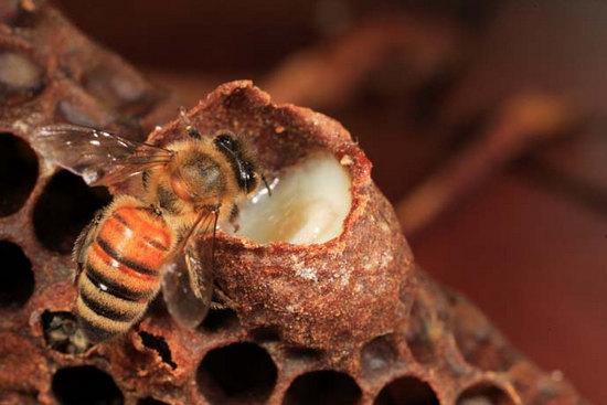 Bạn đã biết cách dùng sữa ong chúa chăm sóc da đúng cách chưa ? - Ảnh 1