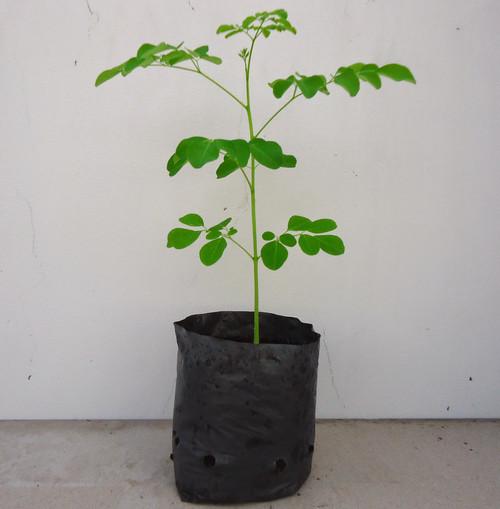 Mách bạn cách trồng cây chùm ngây trong thùng xốp tươi tốt quanh năm - Ảnh 3