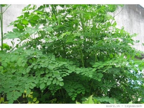 Mách bạn cách trồng cây chùm ngây trong thùng xốp tươi tốt quanh năm - Ảnh 4