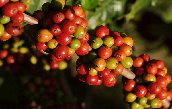 Top 10 sự thật thú vị về cà phê có thể bạn chưa biết - Ảnh 2